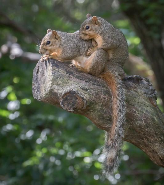Fox Squirrel,  Sciurus niger