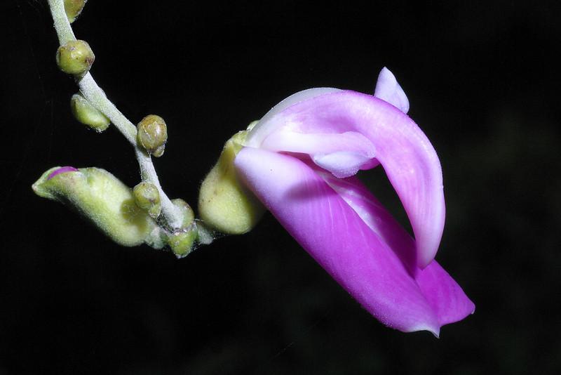 Belize wildflower