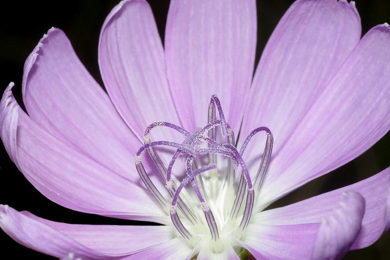 Skeleton plant, Lygodesmia texana