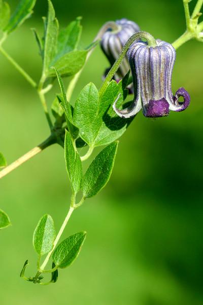 Purple Leather Flower, Clematis pitcheri