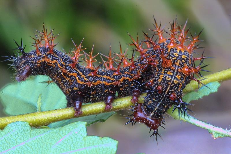 Question Mark Butterfly Caterpillar, Polygonia interrogationis