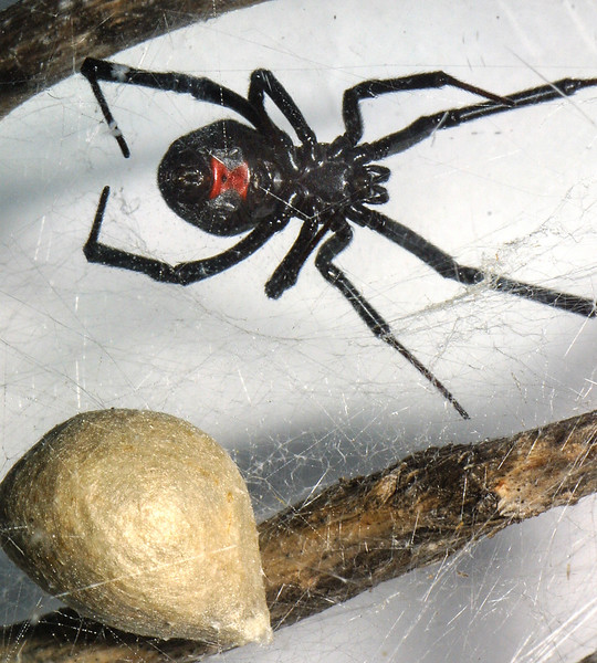 Black Widow Spider, Lactrodectus mactans