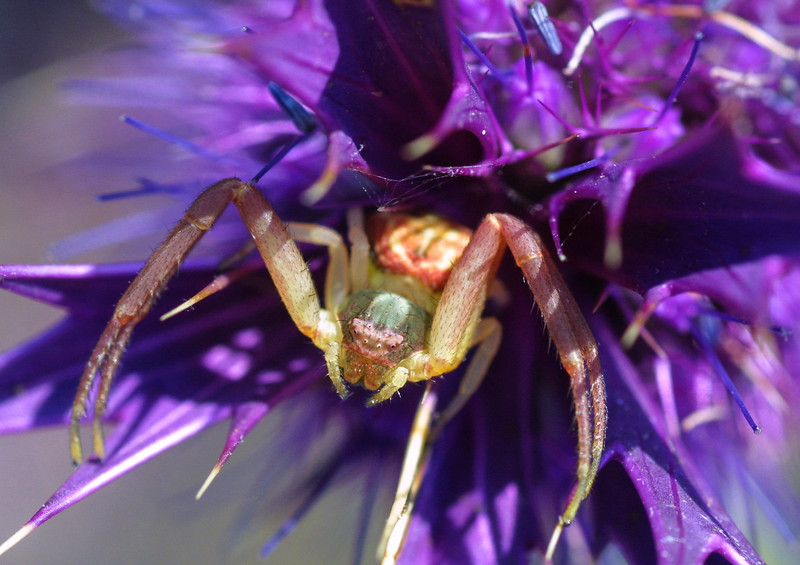 Crab Spider, Thomisidae