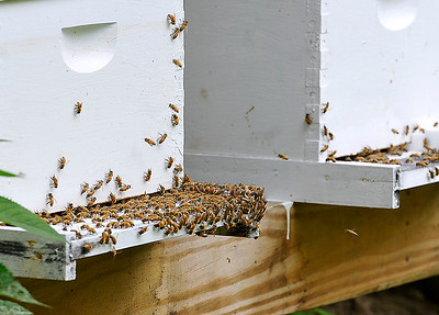 Brad Davis/The Register-Herald Busy bees come and go from one of 19 box hives on longtime beekeeper Russell Compton's property as they make honey Thursday afternoon in Mossy.