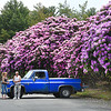 Libby Mitchel, left, and Michael Moore, both from Shady Spring, looks over Catawea Rhododendron's that's spreads across the whole parking lot at Grandview Park. The park is now part of the New River Gorge National Park and Preserve. Dave Bieri district supervisor said, the Catawea Rhodendron blooms purple in color once every year early to late May. They also have the Great Rhododron that's planted throughout the park blooming white in mid July.  School children chose the Big as the West Virginia state flower in 1903.<br /> (Rick Barbero/The Register-Herald)