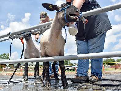 (Brad Davis/The Register-Herald) A pair of sheep from Ewe Come Back Farms, owned by Ethan Leggett out of Troy (Gilmer County), seem to enjoy a refreshing bath after being sheered during opening day at the State Fair Thursday afternoon. His grandfather Gary Radcliff, left, and mother Mindy Leggett, hidden at right, are the ones doing the washing.