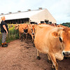 Perk Organic Dairy Farm manager Lauren Perkins lets the cows out to pasture after the morning milking on a recent Wednesday. Jenny Harnish/The Register-Herald