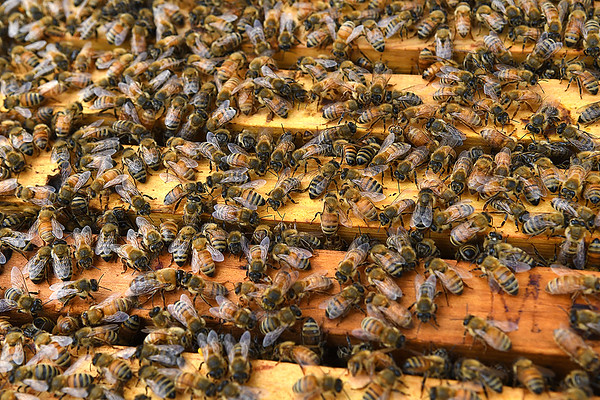 Sworms of bees working in one of the many hives used by Appalachian Headwaters at Camp Waldo in Hinton<br /> (Rick Barbero/The Register-Herald)