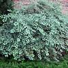 Spiraea ×vanhouttei - Vanhoutte Spirea