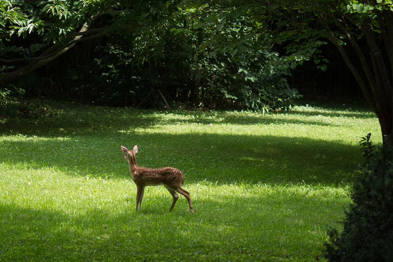 Spotted fawn in my front yard.