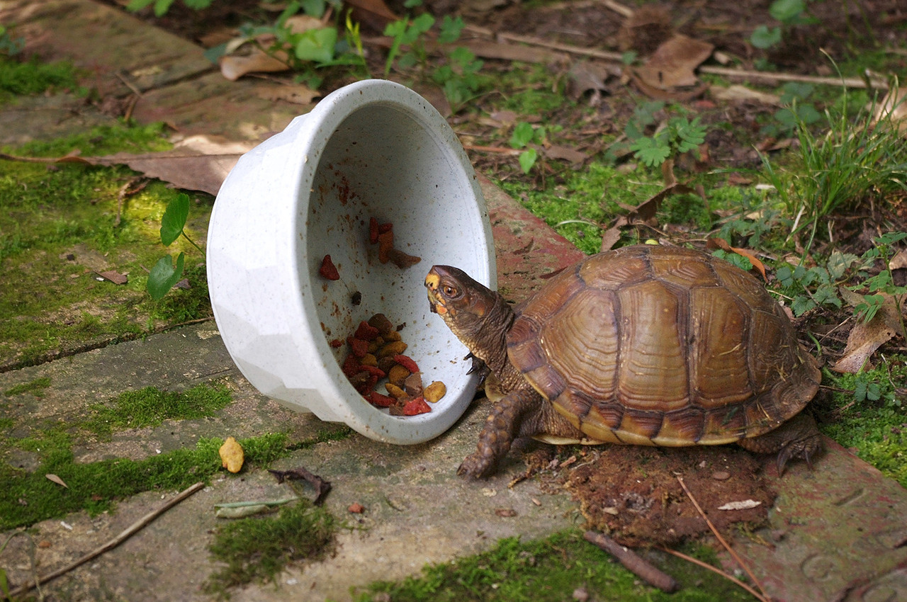 A tortise eating catfood on the patio.