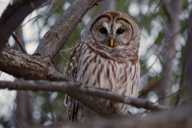 Owl in my backyard in Southwestern Missouri. I believe it may be a barred owl?