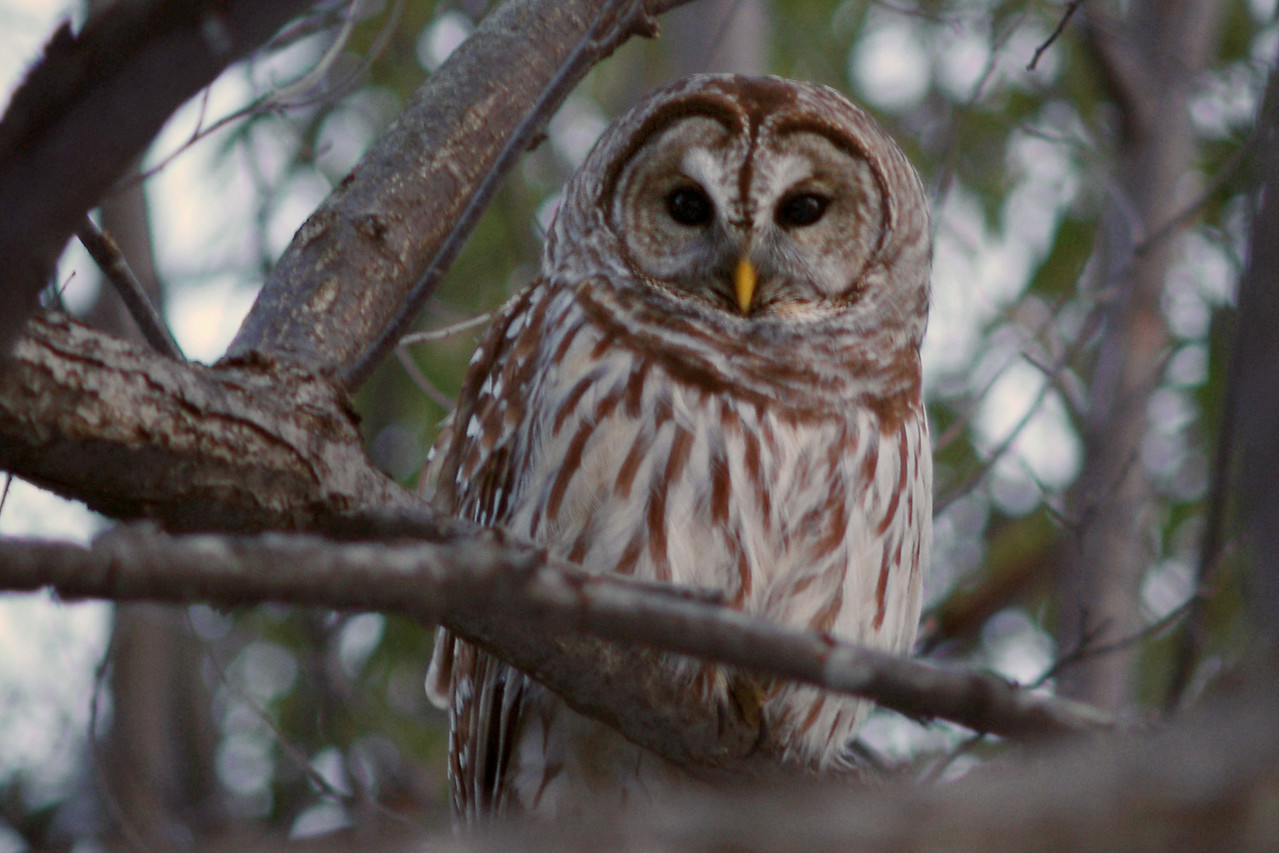 Owl in my backyard in Southwestern Missouri. I believe it may be a barred owl?