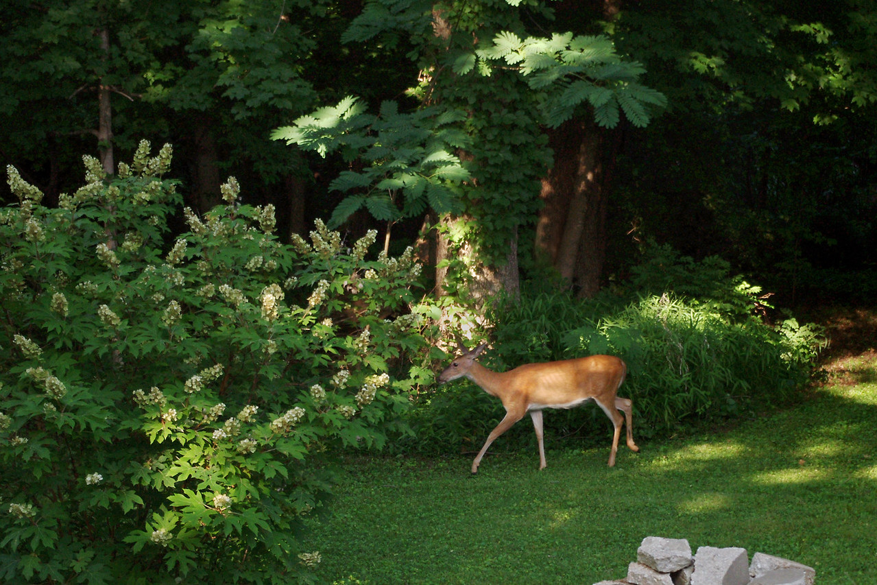 They're back.<br /> <br /> After 4 or 5 years of not seeing any deer, we started to see some signs around - browse damage to our fruit trees. Then one evening we looked out the dining room window and saw this one wallking around in the yard.