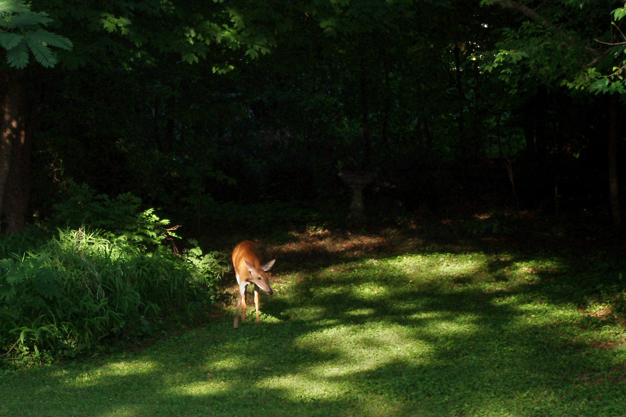 They're back.<br /> <br /> Deer seen lurking around the yard, after not seeing any for years.