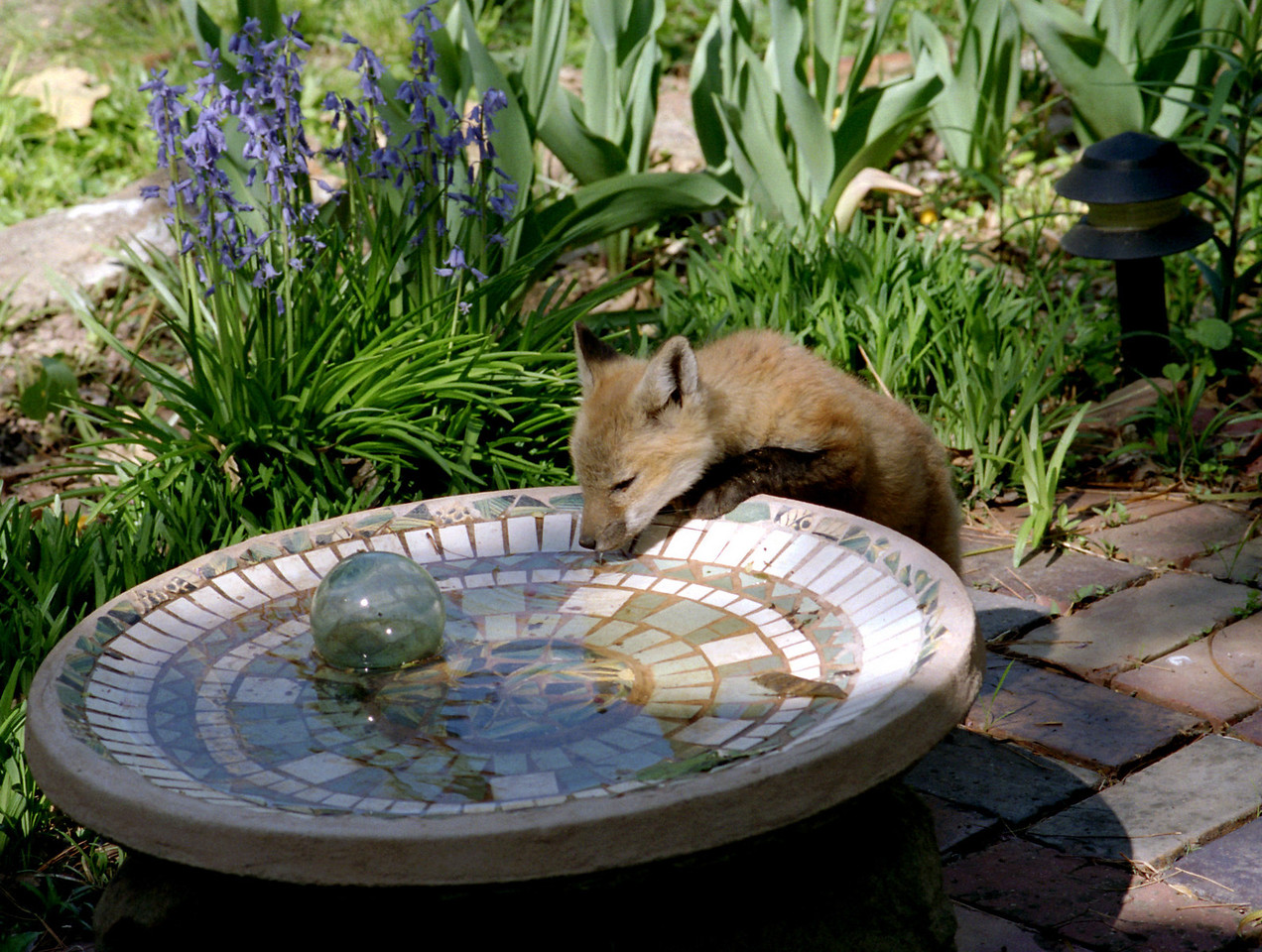 For several years a fox family lived in our back yard. This young one liked to drink out of Rita's bird bath.