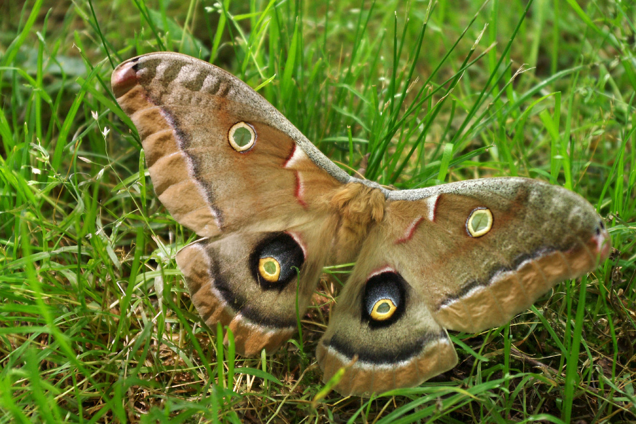 I spotted this large moth in my backyard in SW Missouri. It's probably a Polyphemus Moth (Antheraea polyphemus).