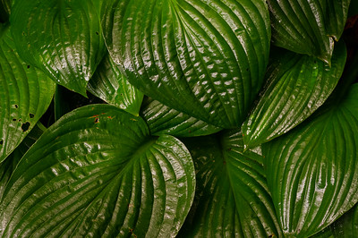 Hosta leaves.