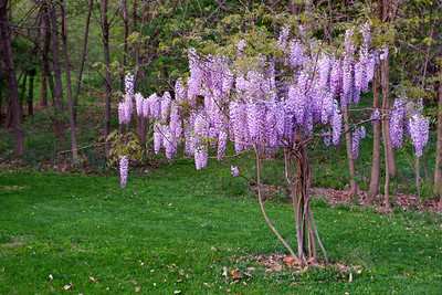 Rita's wisteria in the front field.