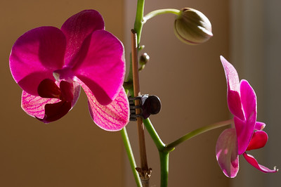 Pink orchid blossoms, evening light.
