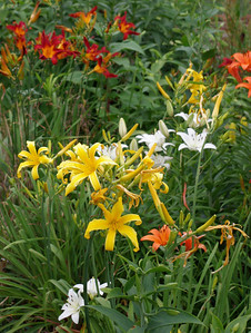 Rita's Asiatic and day lilies. June, 2011.