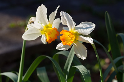 A pair of jonquils in Rita's garden.