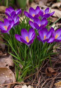 Purple spring crocus in Rita's garden.