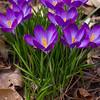Purple spring crocus in Rita's garden.