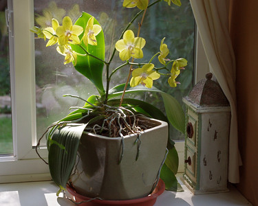 Rita's yellow orchids in the dining room window.