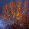 Low winter sunset lights bare sycamore branches against gray stoorm clouds.