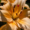 One of Rita's Asiatic Lilies.