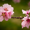 Pink peach tree blossoms in our orchard.