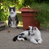 gray_cat+calico-9415