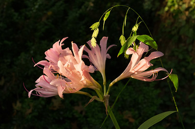 Surprise lily; aka Lycoris squamigera, resurrection lily, or naked ladies.