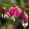 Pink bleeding hearts; Rita's garden.