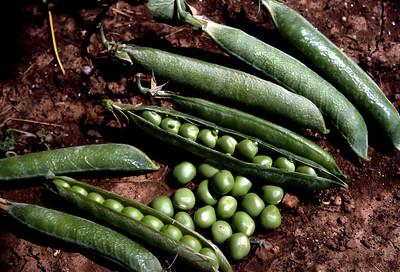 Green peas in a pod.