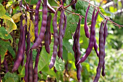 (Purple) green beans; garden, July 2010.