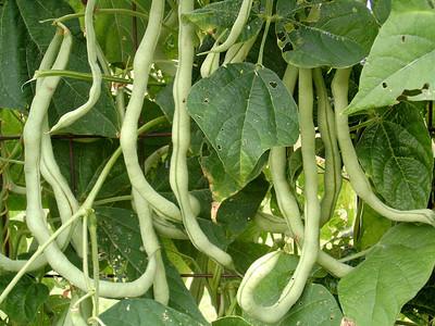 Green beans, garden, 7/07