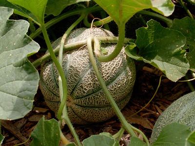 Cantaloupe, garden, 7/07.