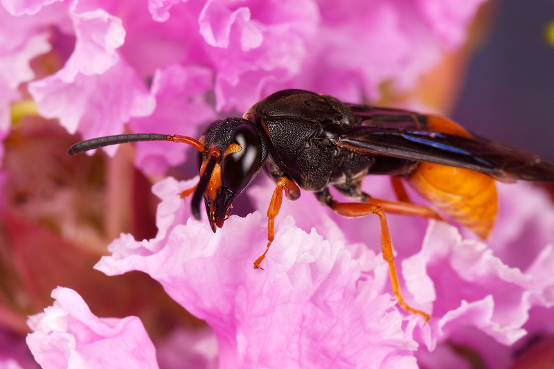 Fire-tailed Mud Wasp