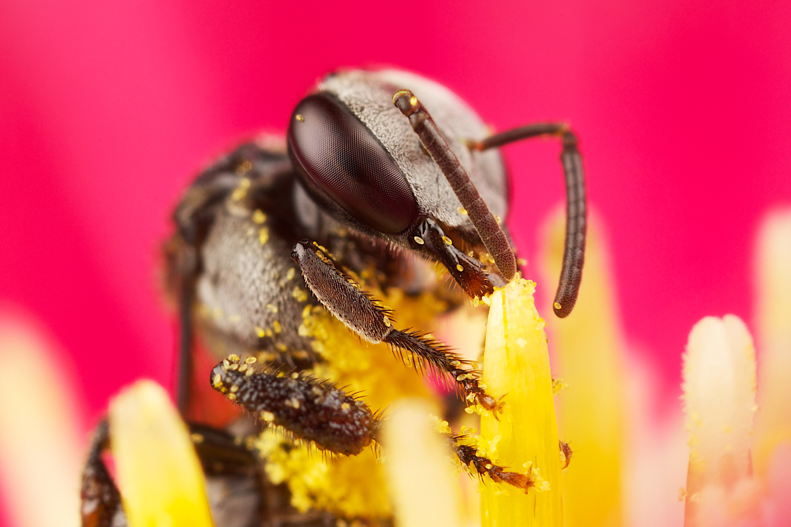 Native Aussie bee takes pollen from a pink chrysanthemum.