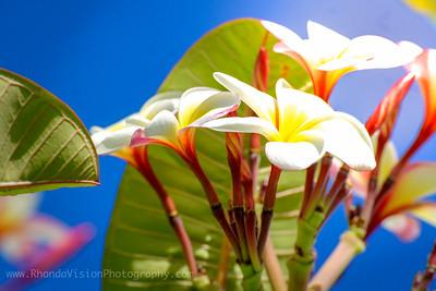 Plumeria of Key West, FL