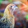 Key West Cemetery Hen