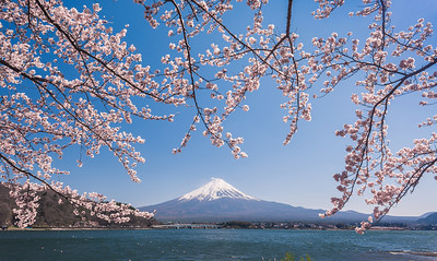 Cherry Blossoms Hanging Over Fuji