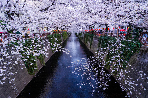 Cherry Blossoms In Tokyo Japan