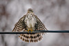 082 - Coopers Hawk on Wire