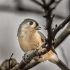 076 - Tufted Titmouse