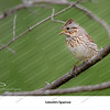 10 - Lincoln's Sparrow