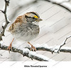 01 - White-throated Sparrow