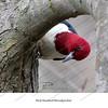 03 - Red-Headed Woodpecker